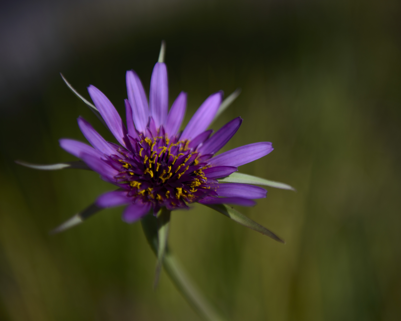 purple salsify   deep nature gardens
