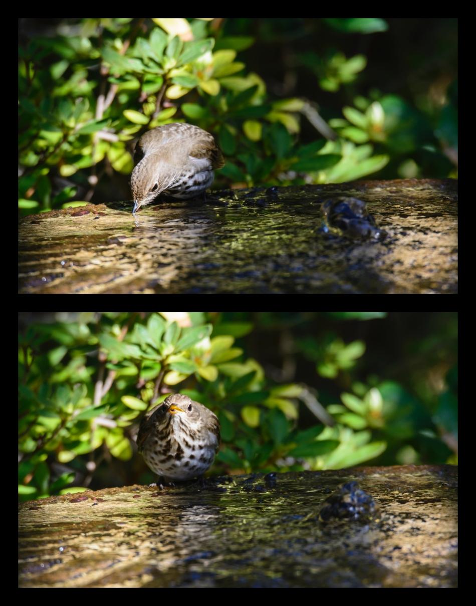 hermit thrush preset focus