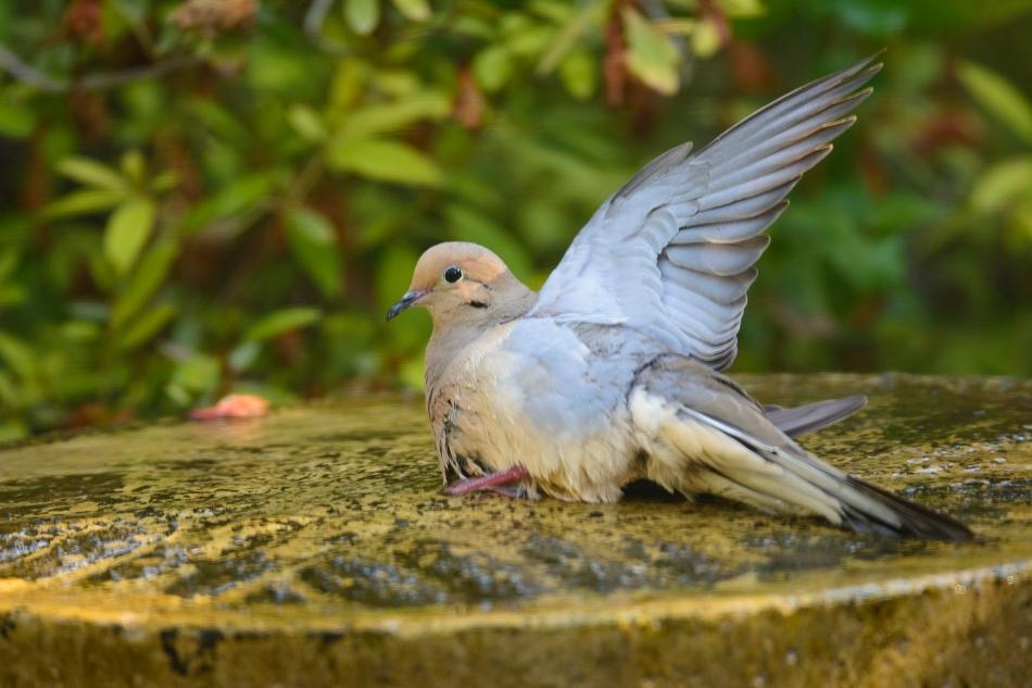 Dove-3732