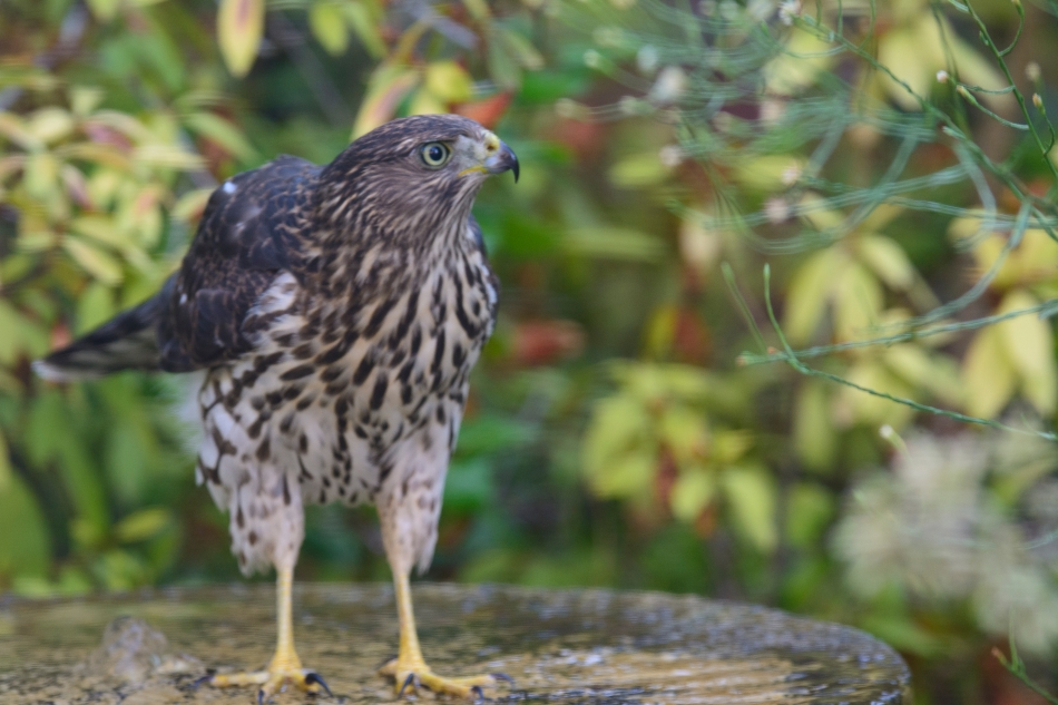 Hawk-3643