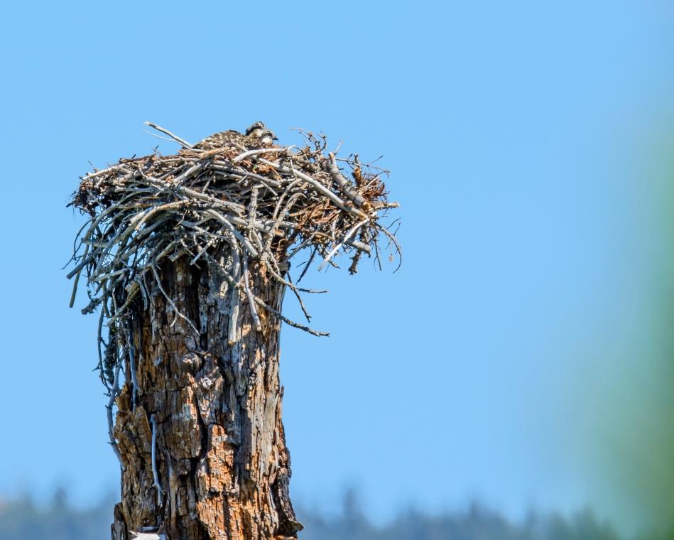 Osprey Nest-2465