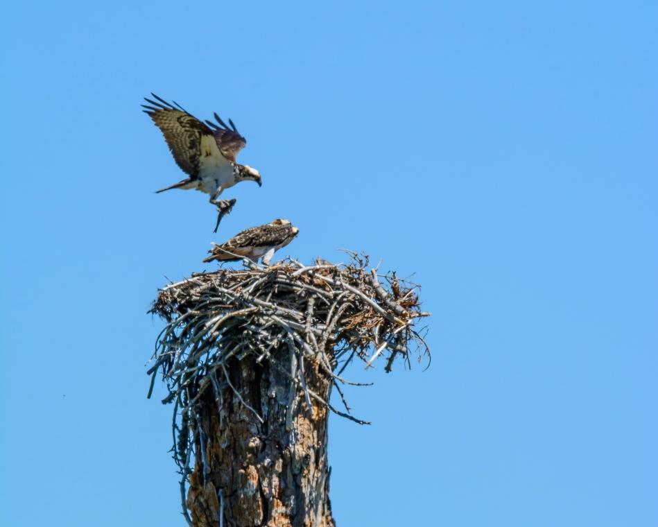 Osprey Nest-2532