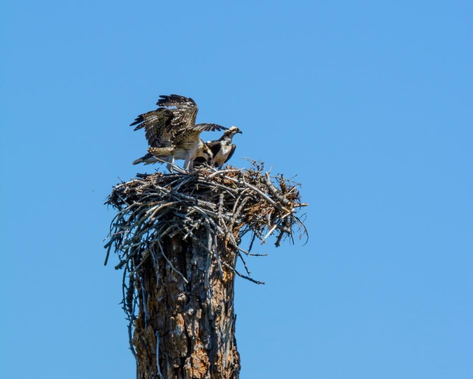 Osprey Nest-2603