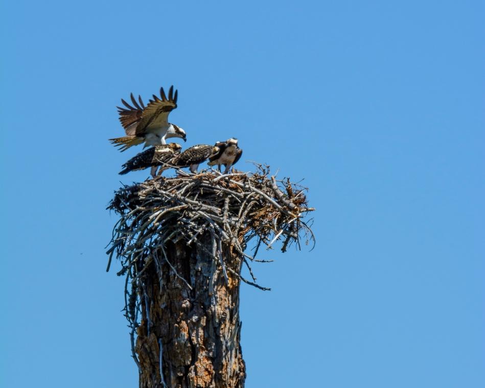 Osprey Nest-2614