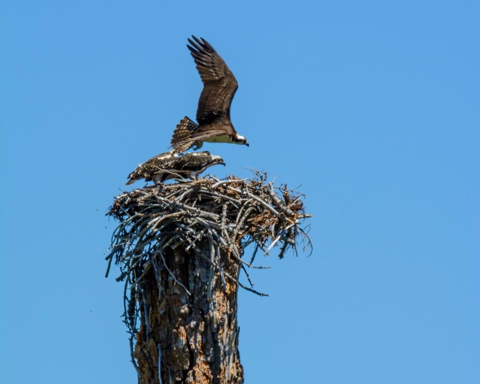 Osprey Nest-2633