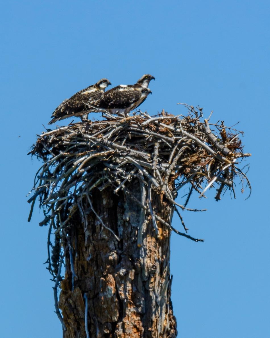 Osprey Nest-2641