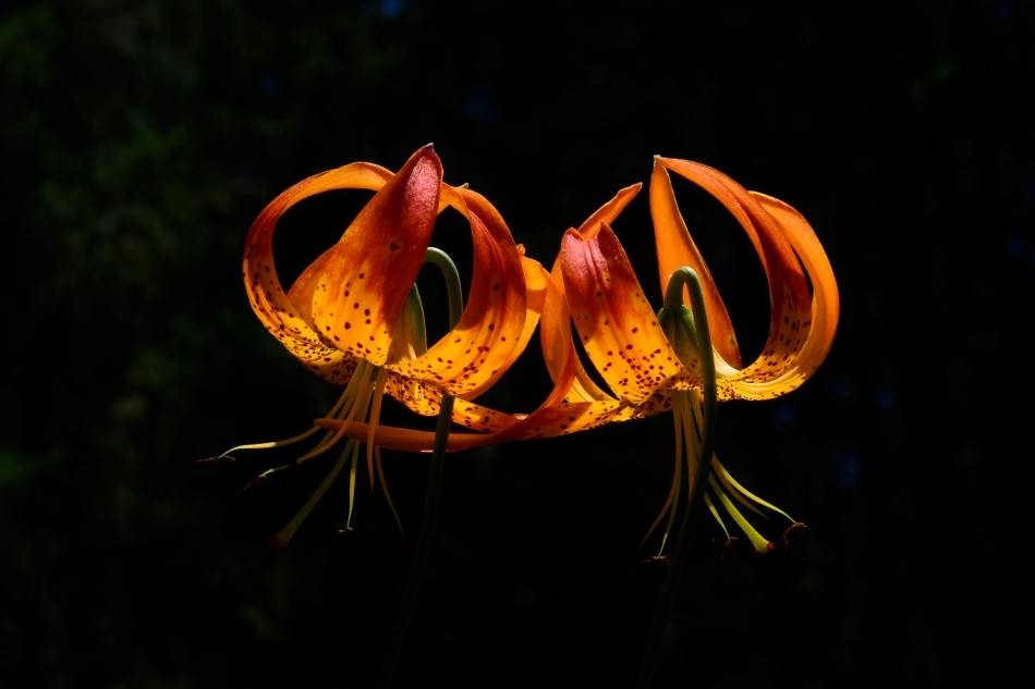 Tiger Lilies-3340