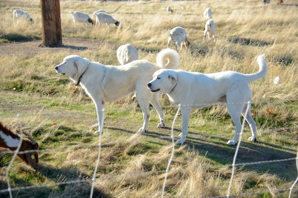 goats-0345