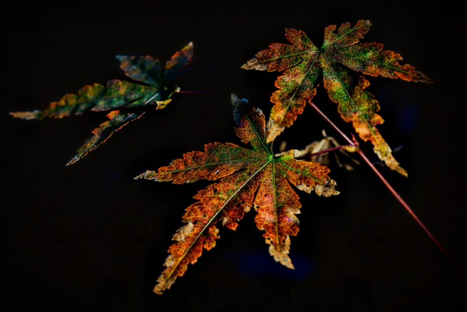 maple leaves-0627-Edit