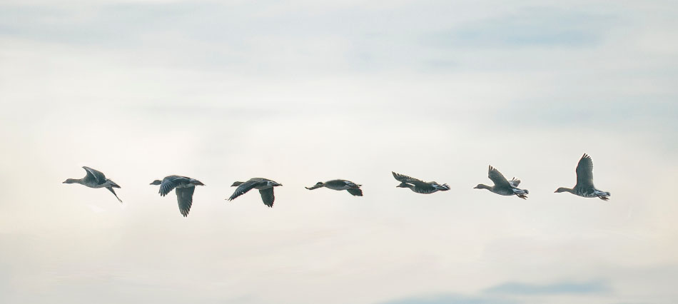 white-fronted.geese