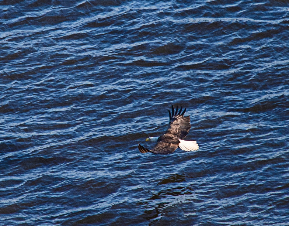 Eagle over water from seaplane