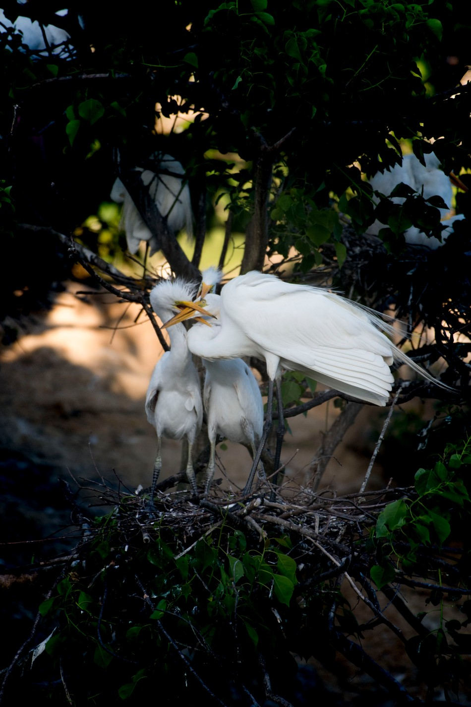 Egret Chicks feeding 2