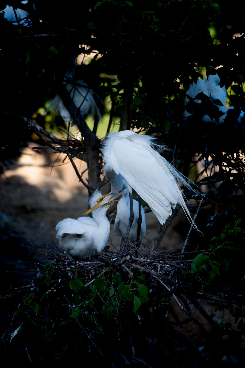 Egret chicks feeding 3