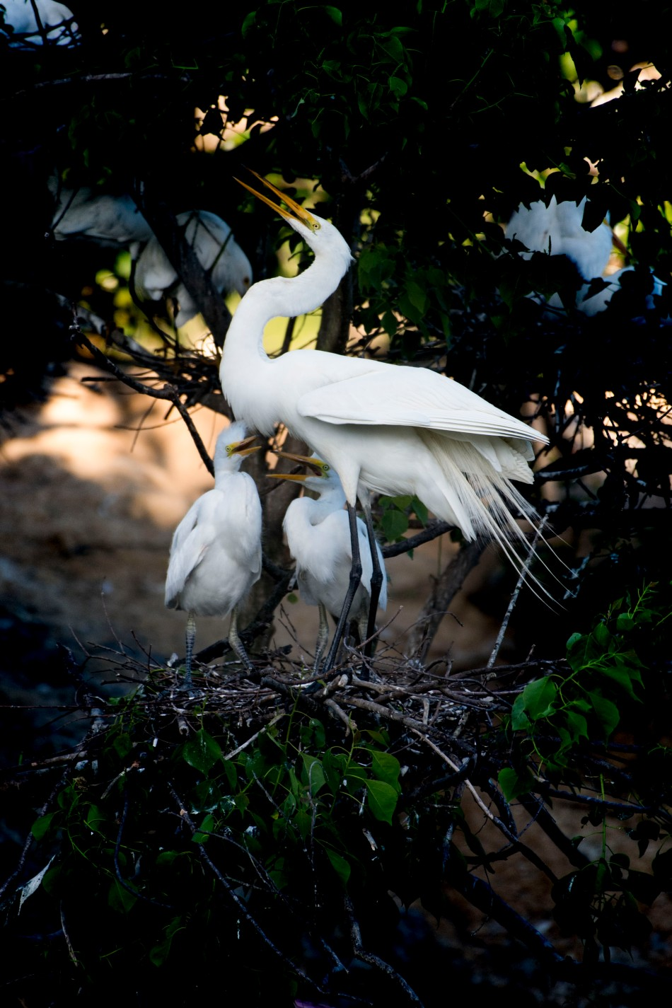 Egret Chicks  Feeding 4