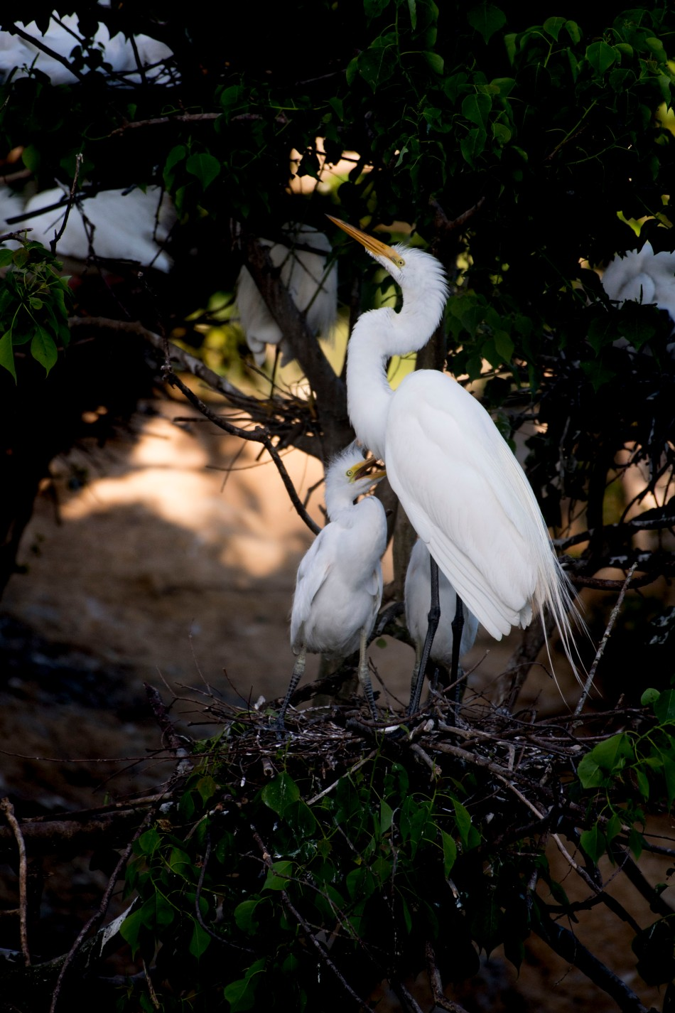 Egret Chicks Feeding.jpg