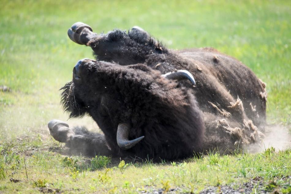 Bison Dust Bath 1