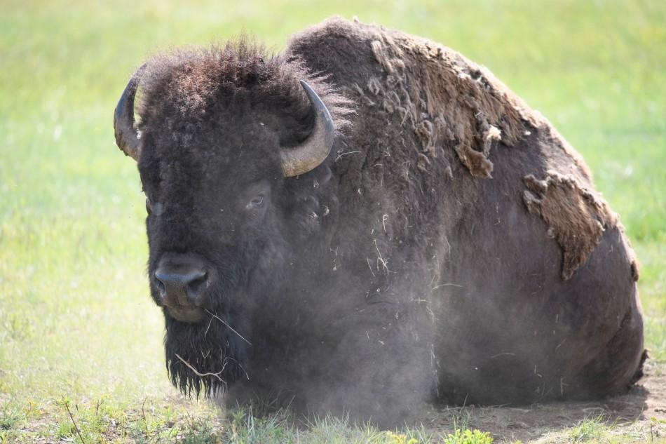 Bison Dust Bath 2