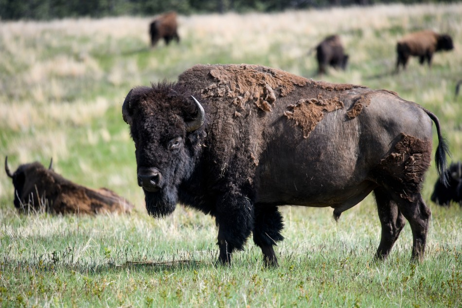 Male Bison Standing