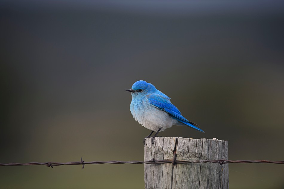 Mountain Bluebird on Post.jpg