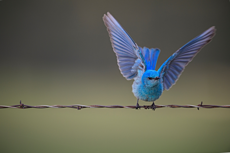 Mountain Bluebird.jpg