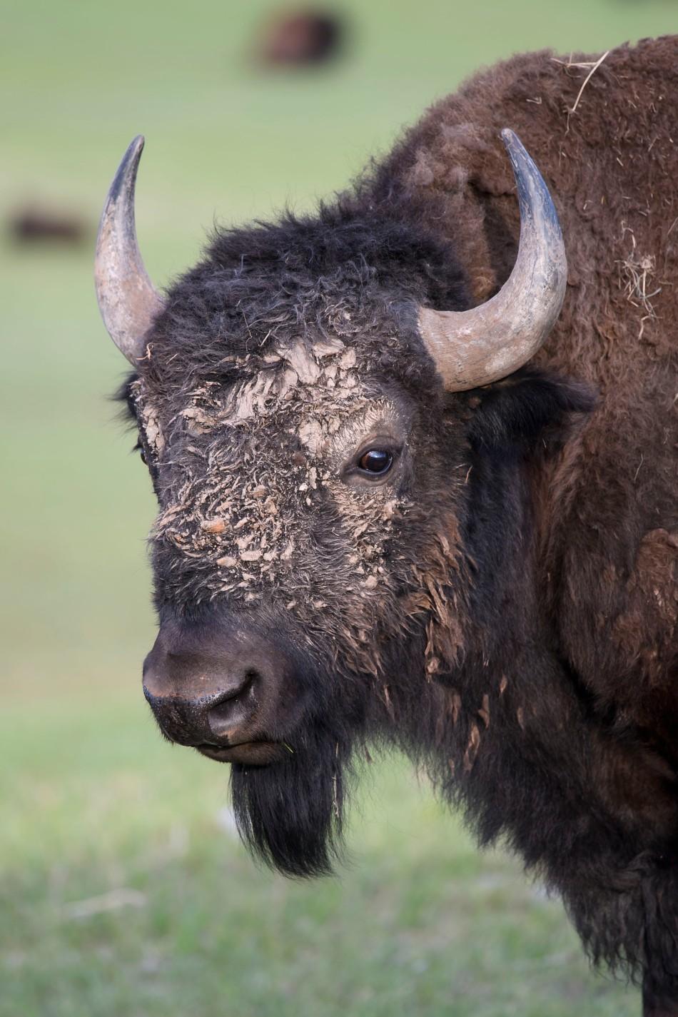 Muddy Bison Face
