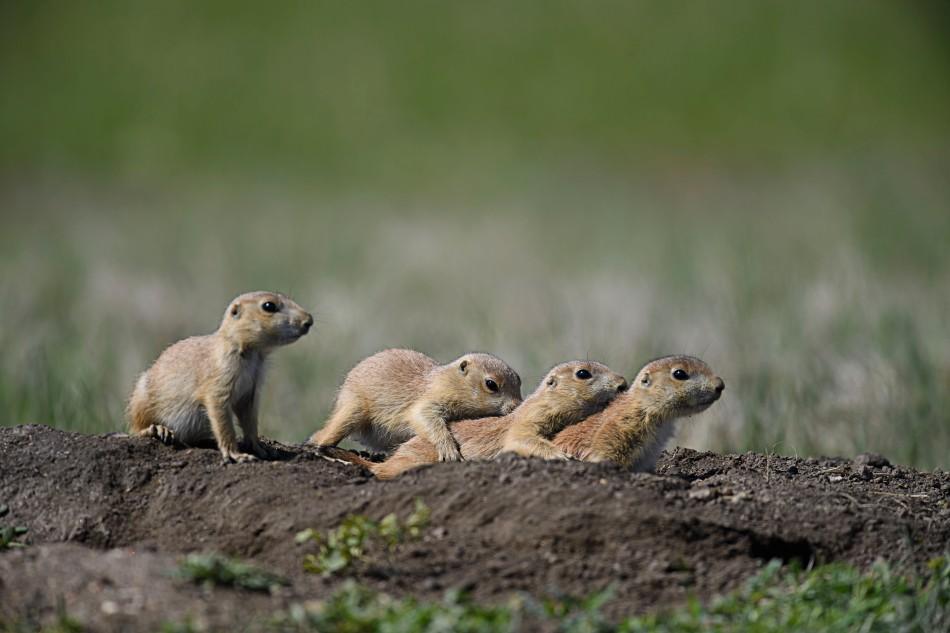 Prairie Dog pups.jpg