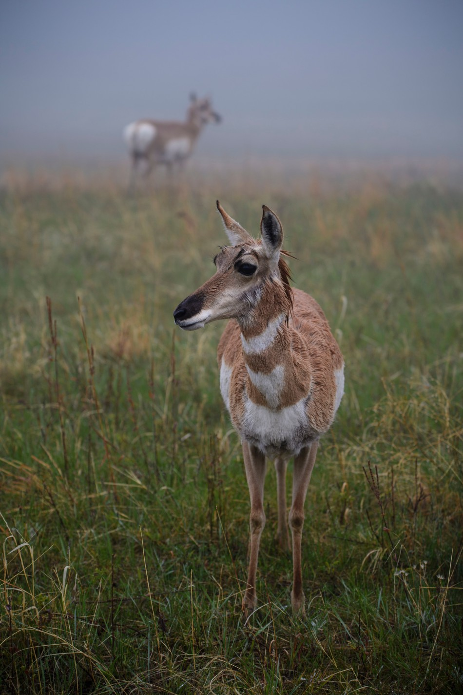 Pronghorn in the fog2.jpg