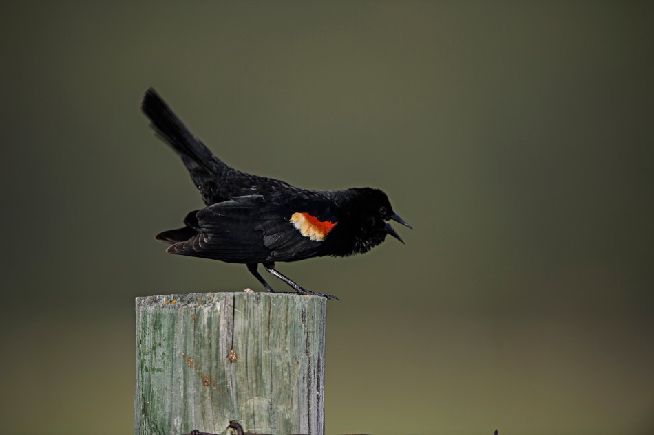 Red Winged Black Bird Singing.jpg