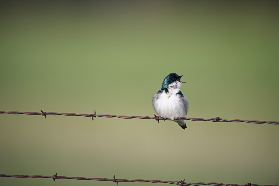 Singing Tree Swallow