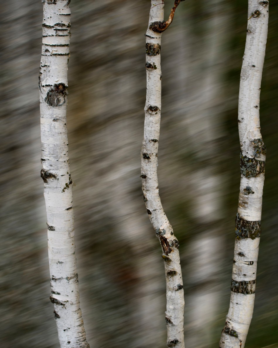 Three Birch Tree Trunks.jpg
