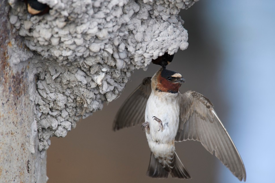 Cliff Swallow Dangling