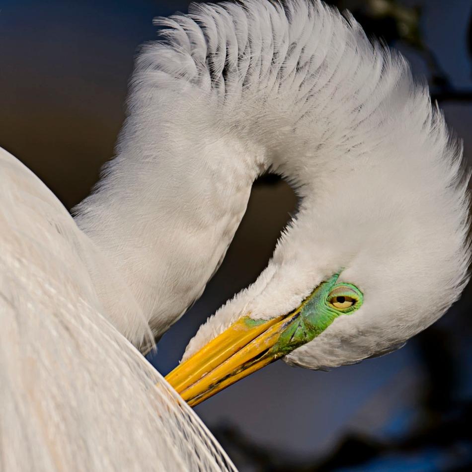 Egret Eye.jpg