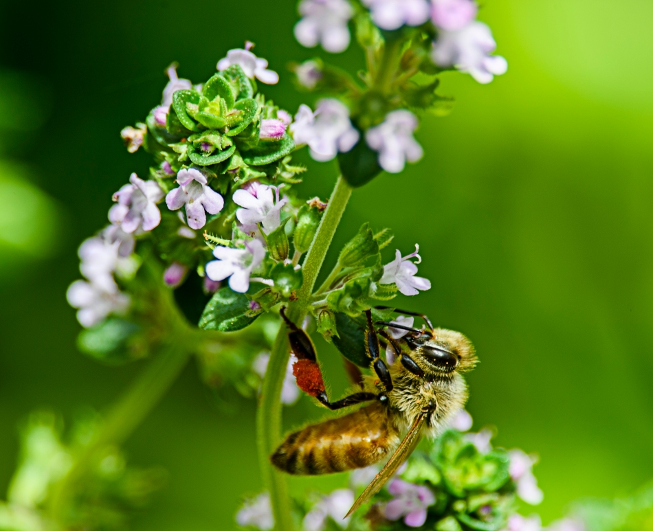 Thyme For Bees.jpg