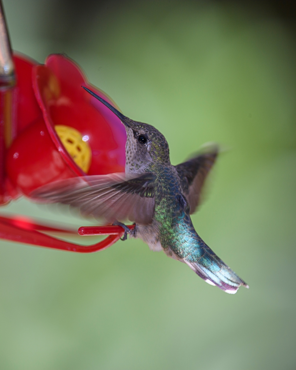 Black chinned hummer 3