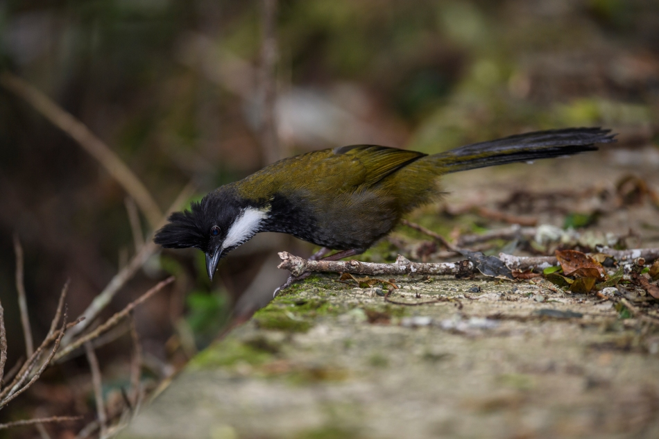 Eastern Whipbird looking down