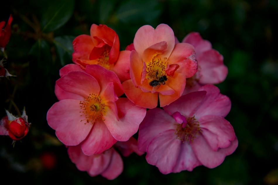 John's rose 1
