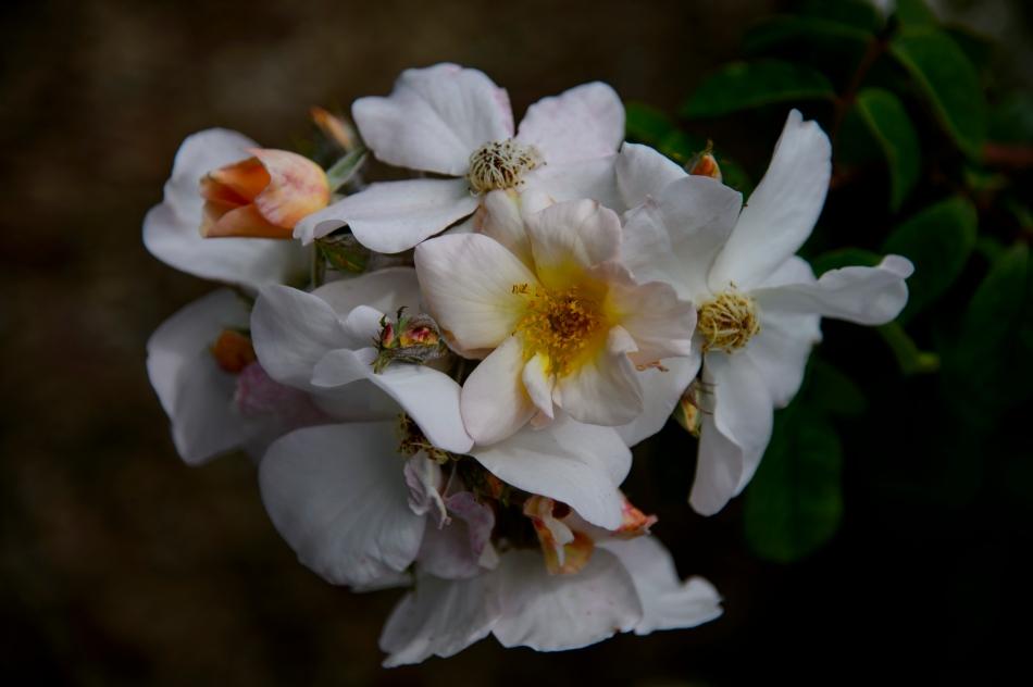John's Rose 2