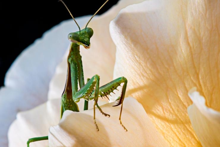 praying Mantis in rose.jpg