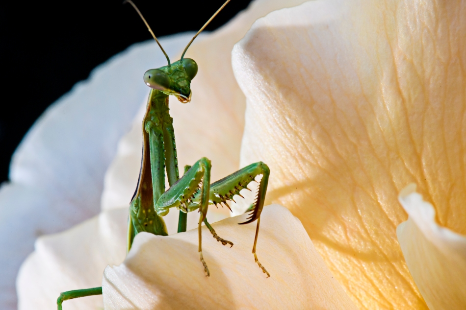praying Mantis in rose.jpg