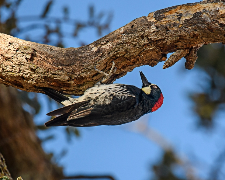 acorn-woodpecker-2