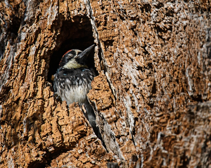Acorn Woodpecker 3.jpg