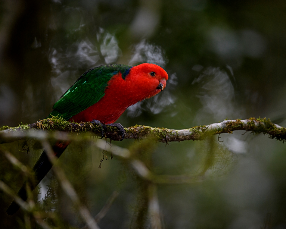 australian king parrot (female).jpg
