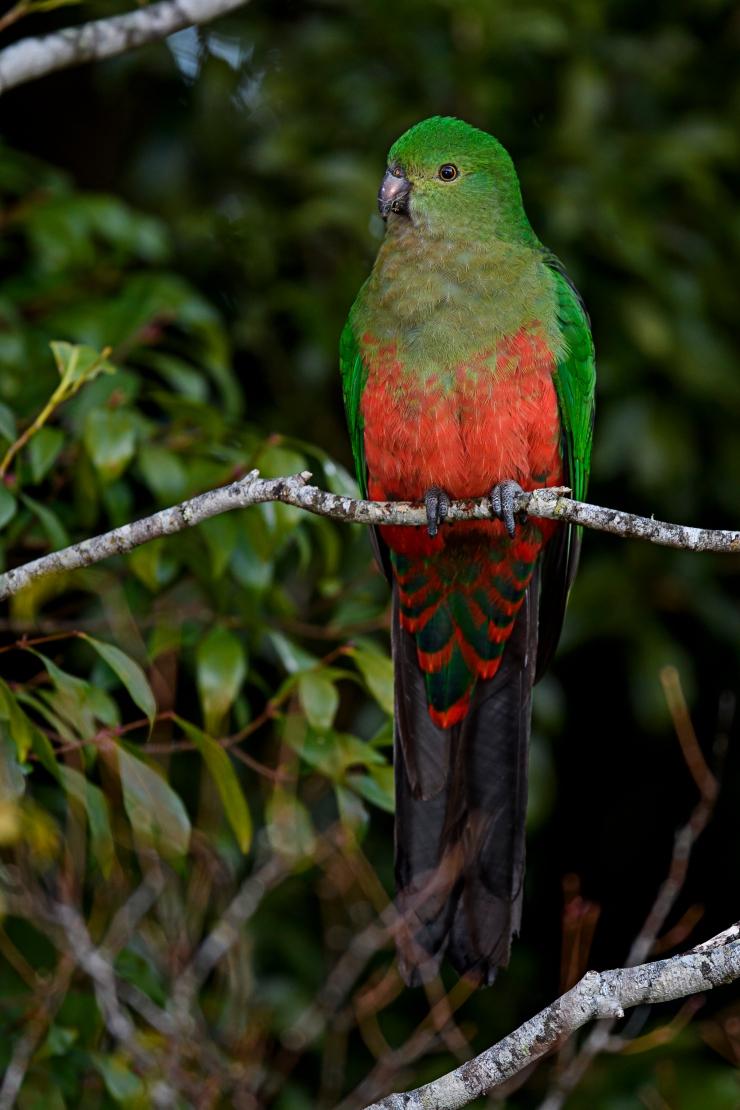 australian-king-parrot-male