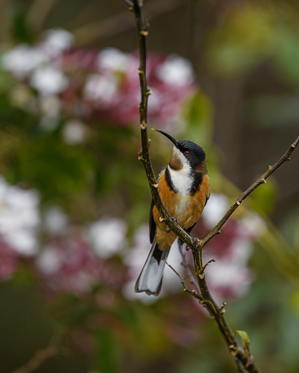 eastern-spinebill-2
