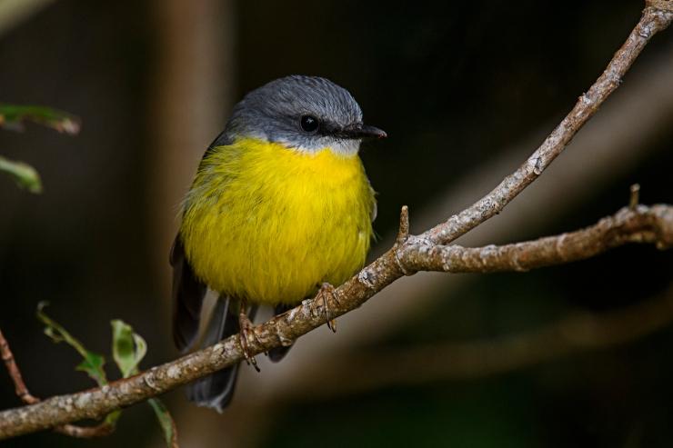 eastern-yellow-robin-3