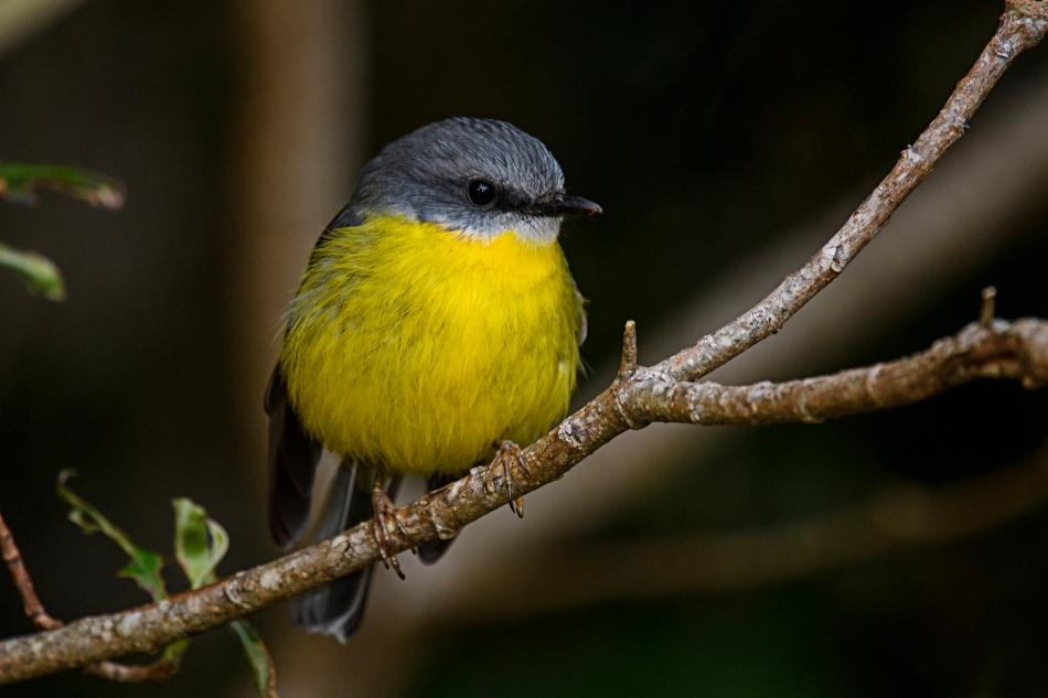 eastern-yellow-robin-3