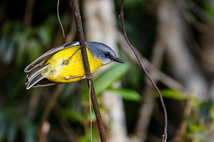 eastern-yellow-robin-5