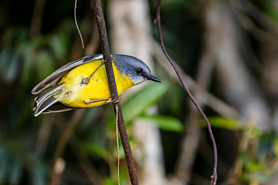 eastern-yellow-robin-5