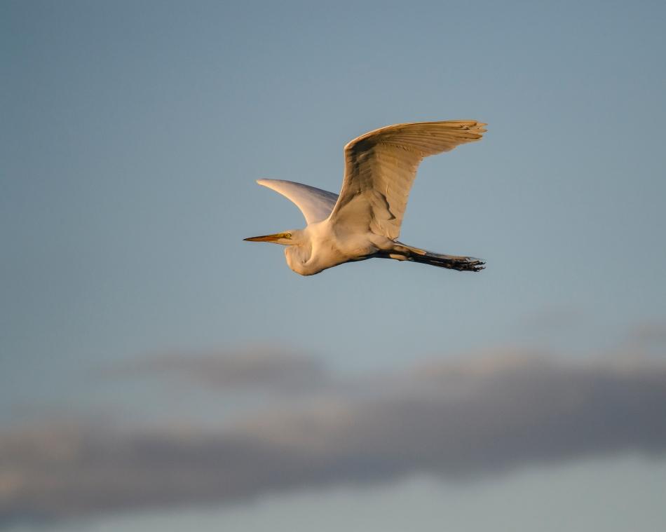 Flying Egret Galveston