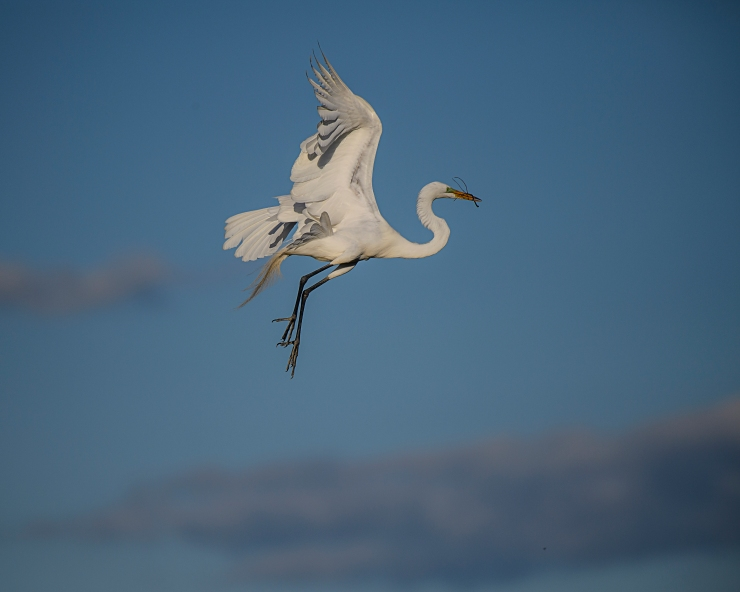 Flying egret with twig.jpg